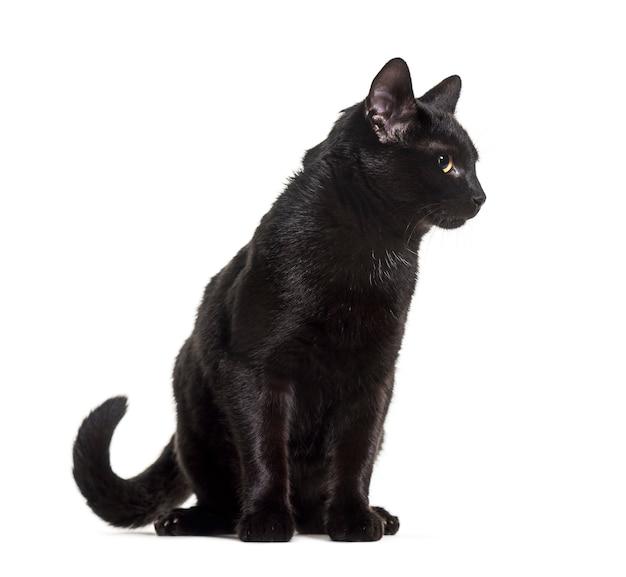 Gatto domestico nero di razza mista seduto su sfondo bianco