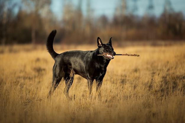 Cane bastardo nero con il bastone tra i denti camminando sul prato in autunno