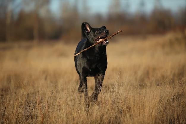 Cane meticcio nero con il bastone in denti che cammina sul prato di autunno