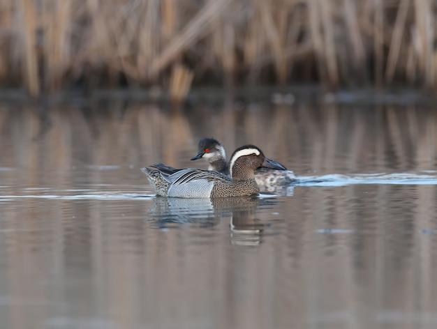 Svasso dal collo nero e un maschio garganey nuotano fianco a fianco in direzioni diverse