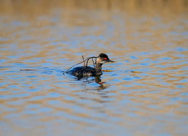 Lo svasso dal collo nero nuota nell'acqua con un ramo spezzato sul dorso