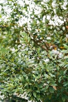Olive nere tra le foglie verdi su un primo piano di olivo