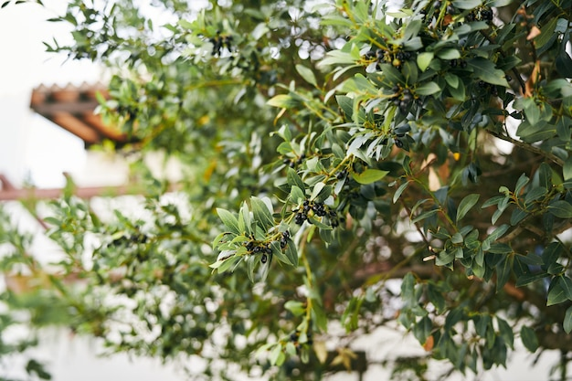 Olive nere sui rami verdi di un primo piano di olivo