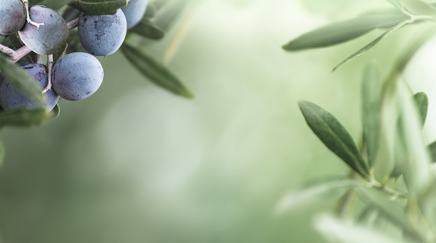 Olive nere che crescono sull'olivo. mazzo di frutti di oliva su sfondo verde sfocato.
