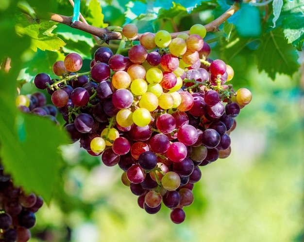 Uva opor nera è un'uva senza semi con un sapore speciale che è popolare.