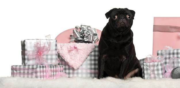 Cane nero del carlino con i contenitori di regalo di natale