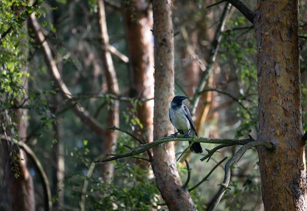 Un corvo nero è seduto su un ramo di un pino nella foresta. uccello.