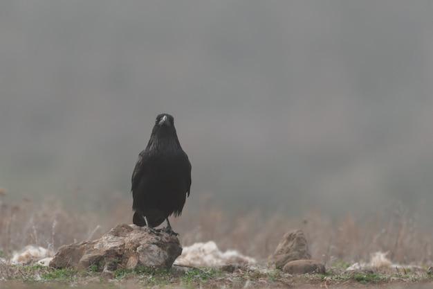 Un corvo nero si erge su una roccia nella nebbia. corvus corax.