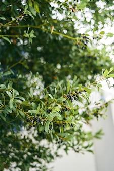 Olive nere mature sul primo piano dei rami verdi