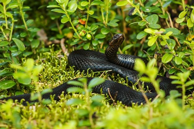 Vipera serpente nero tra le foglie verdi