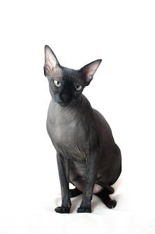Il gatto black sphinx è seduto su uno sfondo bianco isolato