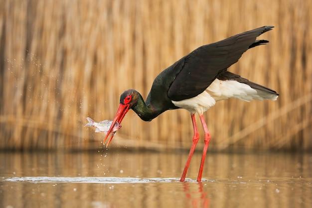 Cicogna nera che pesca un pesce nel fiume nella natura di primavera