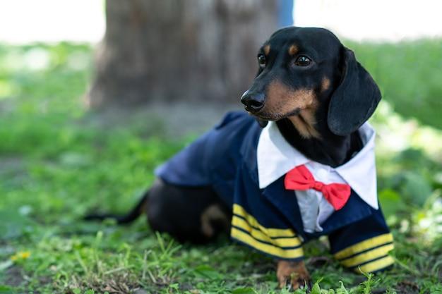 Bassotto a pelo corto nero focato in costume da marinaio nel parco