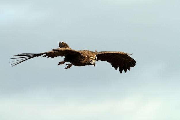 Avvoltoio nero in volo con le prime luci dell'alba
