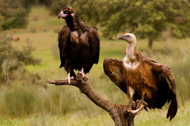 Avvoltoio nero e grifone