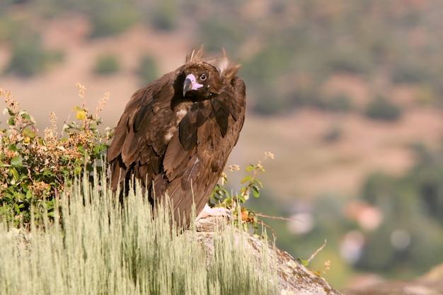Avvoltoio nero con le prime luci dell'alba