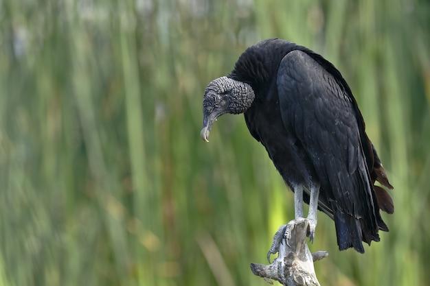 Avvoltoio nero
