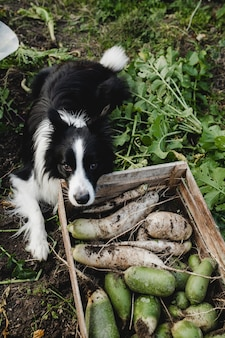 Bianco e nero border collie cane e il raccolto in fattoria