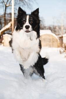 Bianco e nero border collie cane saltando nella neve