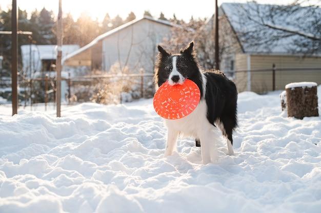 Bianco e nero border collie cane che gioca con il cane frisbee nella neve