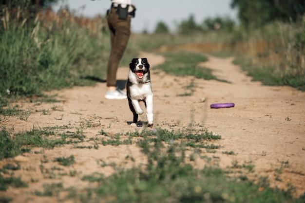 Cucciolo di cane border collie bianco e nero che corre nel campo