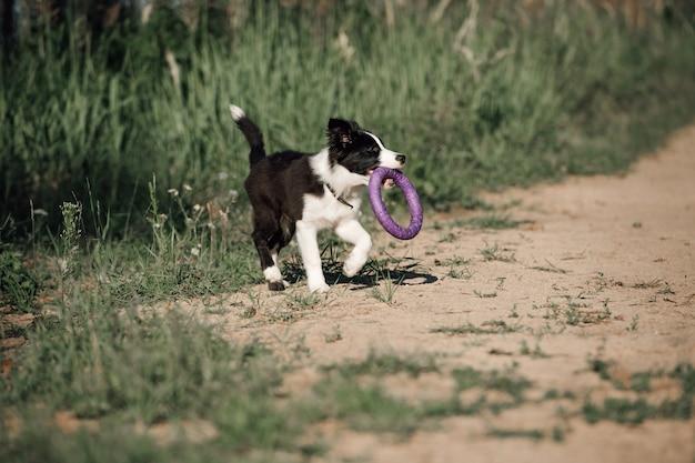 Cucciolo di cane border collie bianco e nero con estrattore