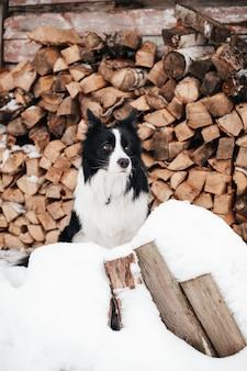 Bianco e nero border collie dog sitter sulla neve davanti al deposito di legna da ardere