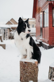 Bianco e nero border collie dog sitter sul moncone in campagna