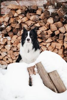 Bianco e nero border collie dog sitter con legna da ardere