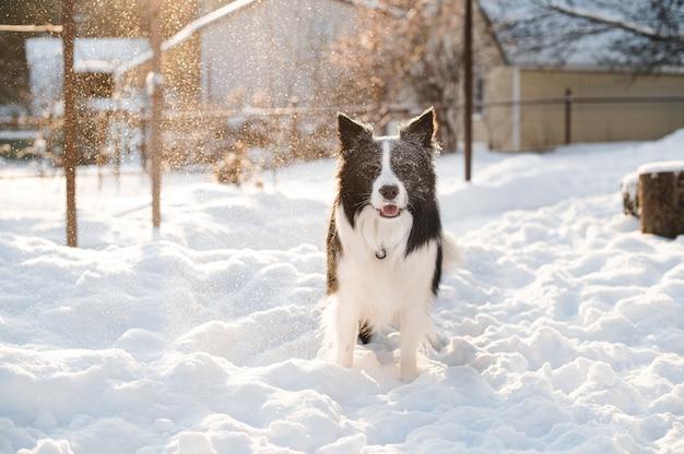 Bianco e nero border collie cane nella neve alla soleggiata giornata invernale