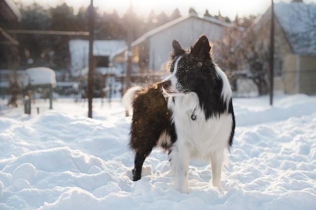 Bianco e nero border collie cane nella neve