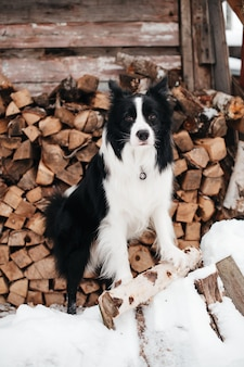 Bianco e nero border collie cane in piedi sulla neve davanti al deposito di legna da ardere