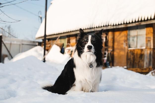 Cane di border collie bianco e nero nel villaggio di inverno