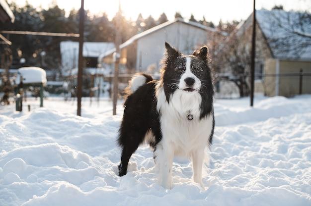 Cane border collie bianco e nero in inverno con la neve sul viso