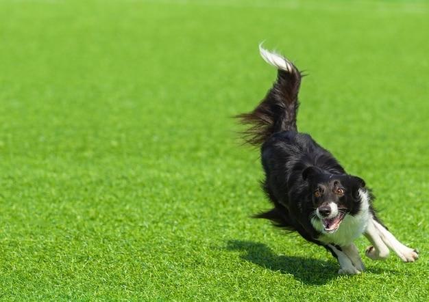 Un cane border collie bianco e nero con uno sguardo folle corre sull'erba verde in una giornata di sole estivo