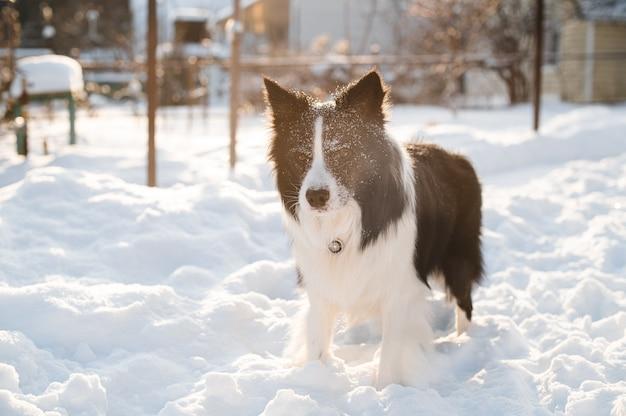 Bianco e nero border collie cane con neve sul viso alla soleggiata giornata invernale