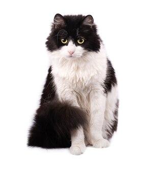 Gatto bianco e nero isolato su bianco