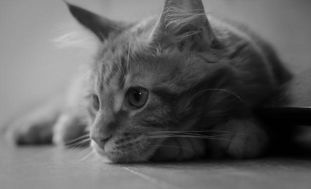 Primo piano in bianco e nero del gattino del procione lavatore della maine
