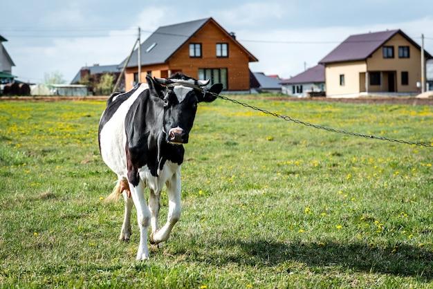Mucca in bianco e nero nel campo.
