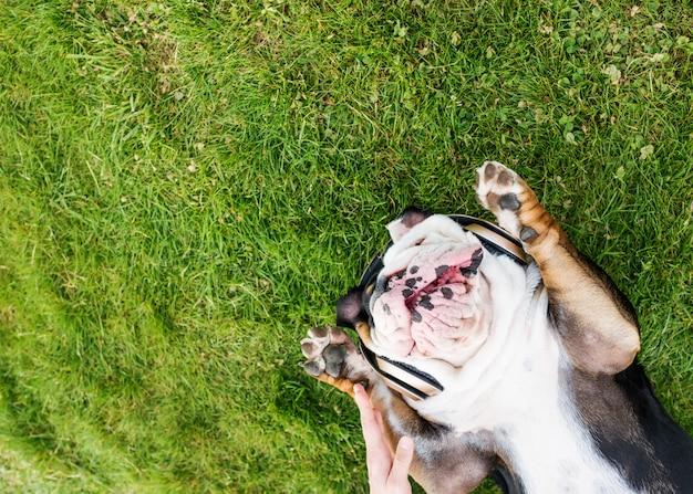 Il cane in bianco e nero ascolta musica o audiolibro e riposa sul prato il giorno caldo della molla soleggiata in parco