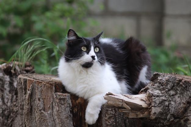 Gatto soffice bianco e nero si siede su un ceppo di albero vicino a un letto di fiori grandi occhi verdi