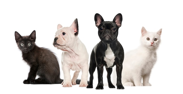 Bulldog francesi e gattini in bianco e nero isolati su bianco