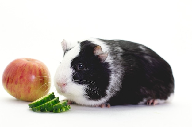Cavia in bianco e nero con il suo cibo davanti a uno sfondo bianco