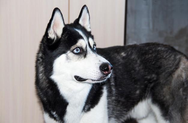 Cane husky in bianco e nero con gli occhi azzurri. husky siberiano.