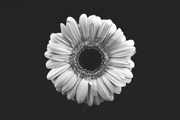 Bianco e nero isolato testa di fiore sfondo, bianco, gerbera macro foto e compoisiotn creativo, vista dall'alto, bianco e nero