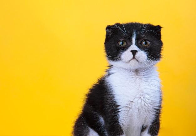 Il gattino bianco e nero guarda avanti.