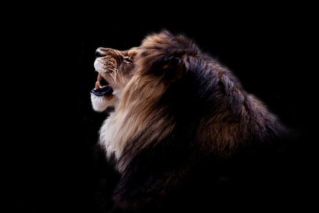 Ritratto in bianco e nero di un bellissimo leone maschio su sfondo nero. foto di animali lunatici scuri.