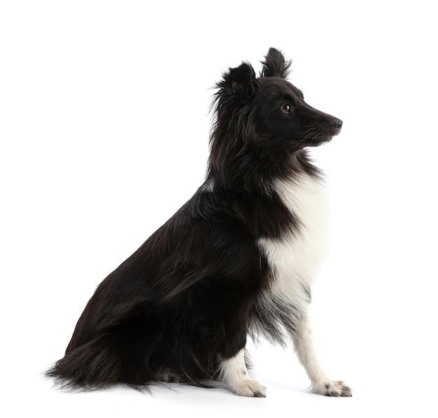 In bianco e nero shetland sheepdog seduto