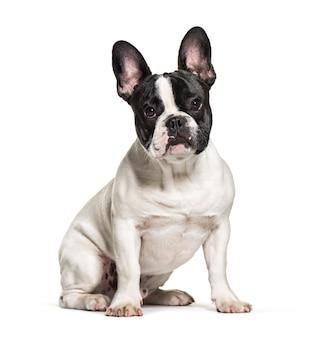 Bulldog francese di seduta in bianco e nero, isolato