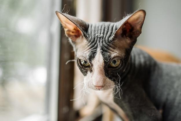 Gatto sphynx bianco e nero seduto accanto alla finestra